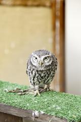 Little Owl in captivity