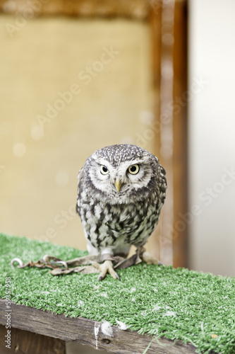 Little Owl in captivity