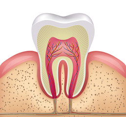 Healthy white tooth, gums and bone illustration