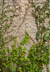 Green creeper tree on wall.