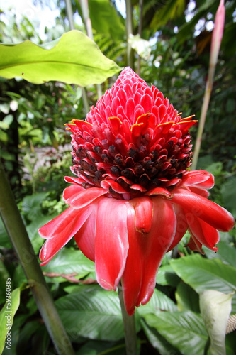 Red flower of etlingera elatior