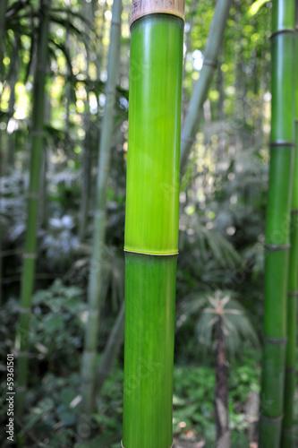 bambou © cynoclub