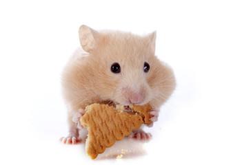 eating hamster