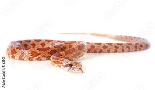 corn snake - 59363500