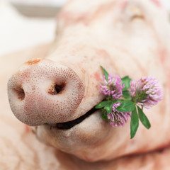 A Pig Holding a Small Bunch of Clovers, Snout of a Pig