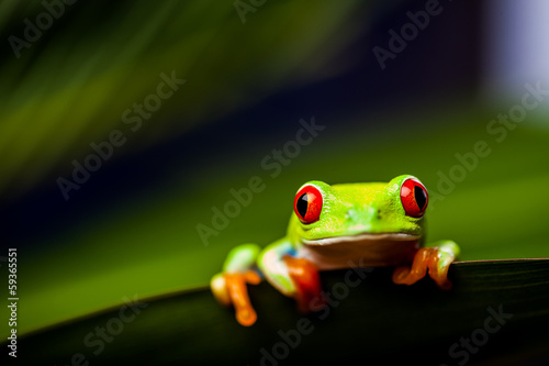 Foto op Aluminium Kikker Frog on a leaf in the jungle