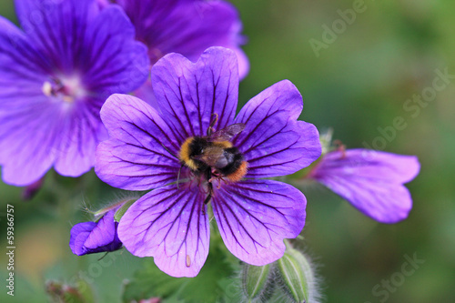bee on geranium