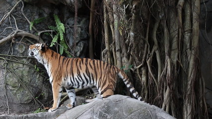 Footage of big tiger in the zoo