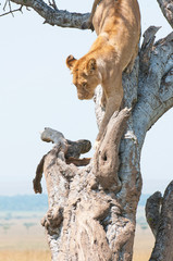 female lion climbing down a tree - national park masai mara