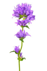 Campanula flower isolated on white background