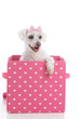Cute little dog in a pink and white love heart box