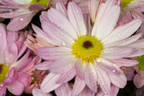 Pink English daisies (Bellis Perennis)
