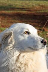 beautiful white sheepdog