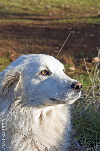 beautiful white sheepdog
