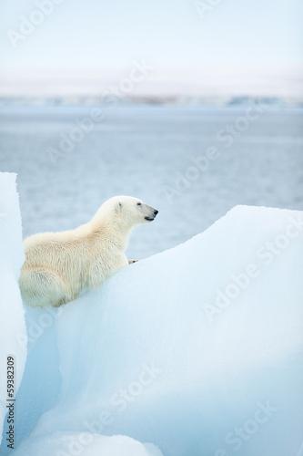 Foto op Aluminium Antarctica 2 Polar bear at Svalbard