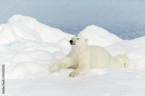 Spoed canvasdoek 2cm dik Antarctica 2 Polar bear at Svalbard