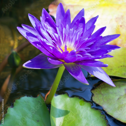 Violet water lily lotus flowers in the pool