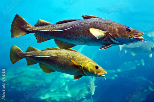 Cod fishes, Alesund, Norway.
