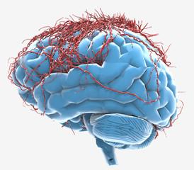Cerebro con Células Nerviosas