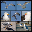 Seven photos mosaic of seagulls
