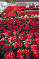 Poinsettias in a greenhouse