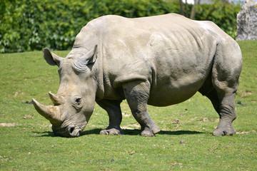 White rhinoceros grazing grass