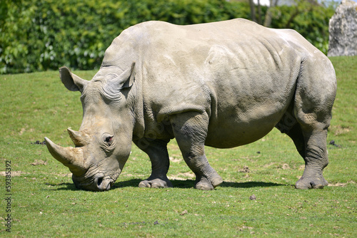 White rhinoceros grazing grass