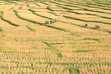 Terraced Rice Field and buffalo