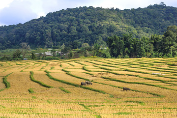 Terraced Rice Field yellow