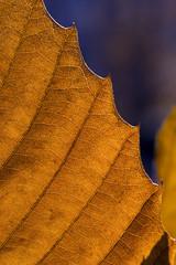 foglia di castagno controluce autunno