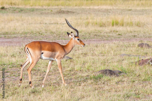 Poster Antilope impala antelope in the savannah - national park masai mara