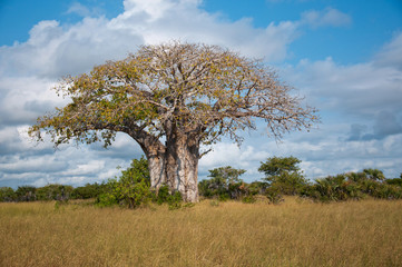 huge baobab tree in tanzania - national park saadani