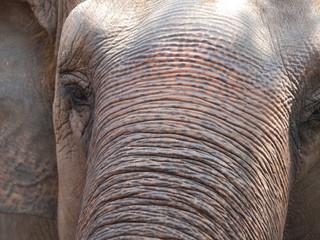 elefant skin