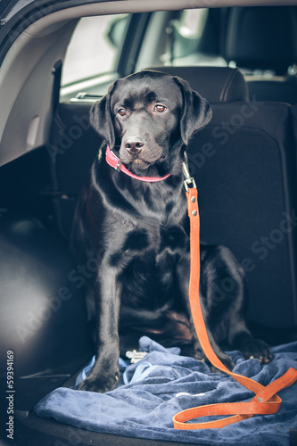 black labrador in car
