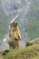 Alpenmurmeltier
