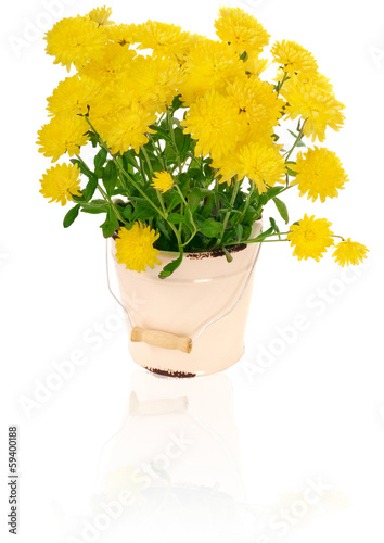 yellow chrysanthemums in flowerpot