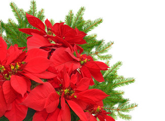 red poinsettia and christmas tree branch