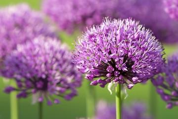 Blühender Lauch / blooming leek