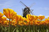 Fototapety Tulpen in  Holland mit Windmühle