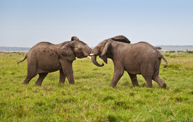 fighting african elephants in the savannah - masai mara