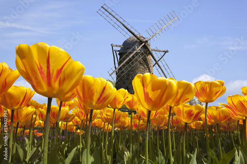 Deurstickers Amsterdam Tulpen in Holland mit Windmühle