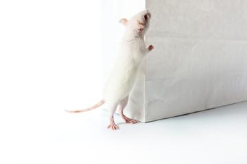 rat and paper bag