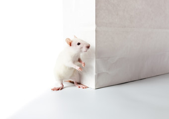 rat and paper bag