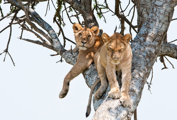 two young lions resting on a tree - national park masai mara
