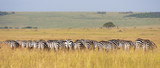 crowded herd of zebras grazing in the savannah - back view