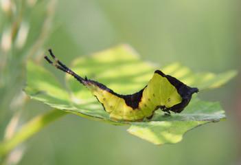 Catterpillar of the Cerura