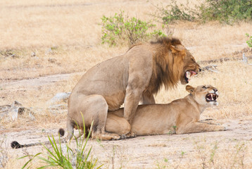 mating lions in the savannah in africa - national park selous
