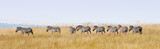 zebras in a row walking in the savannah in africa - masai mara