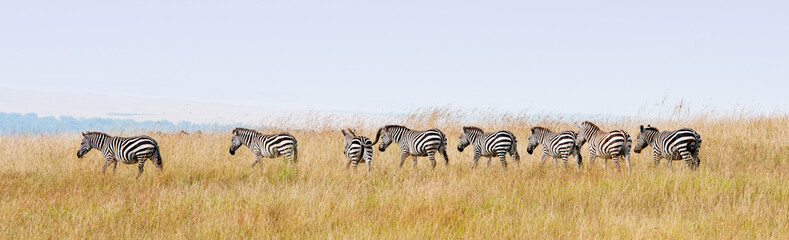 zebras in a row walking in the savannah in africa - masai mara