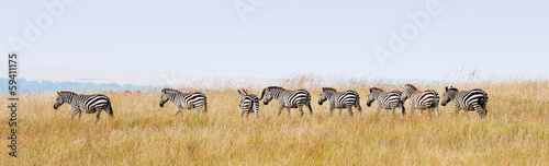 Canvas Zebra zebras in a row walking in the savannah in africa - masai mara